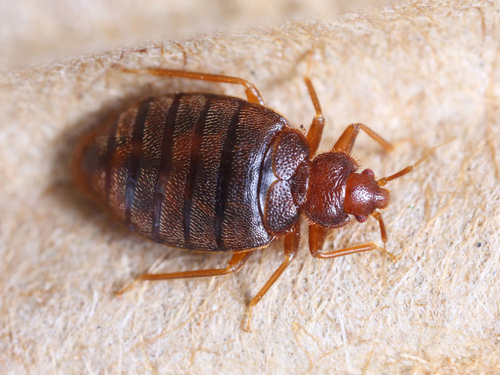 How Do Pest Control Services Help in Getting Rid of Bed Bugs?