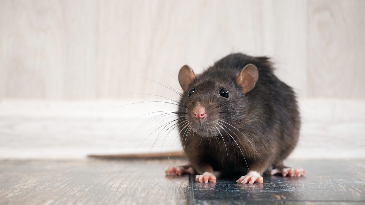 Best Rodent Control Methods to Get Rid of the Rat Infestation