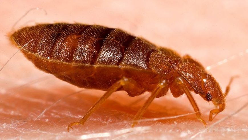 Bed Bug Pest Control in Singapore